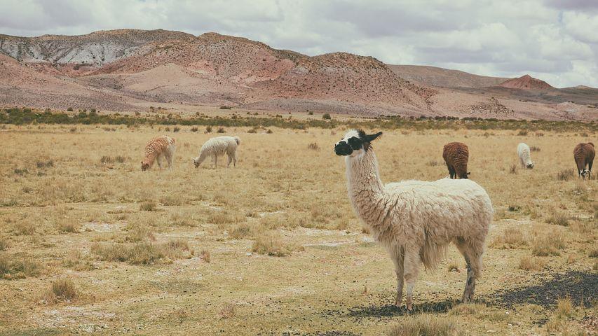 Alpaca 1845919 480