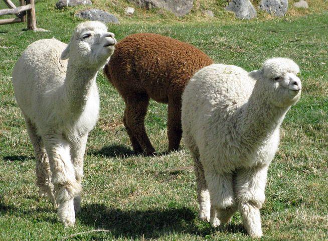 Alpacas 336154 480