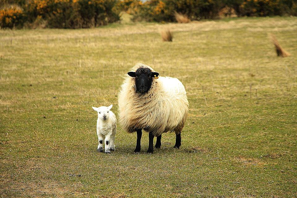Sheep 751481 960 720