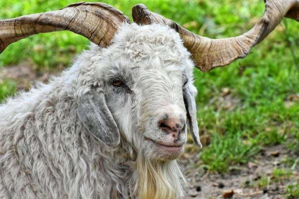 Cachemire billy goat 4368131 1280