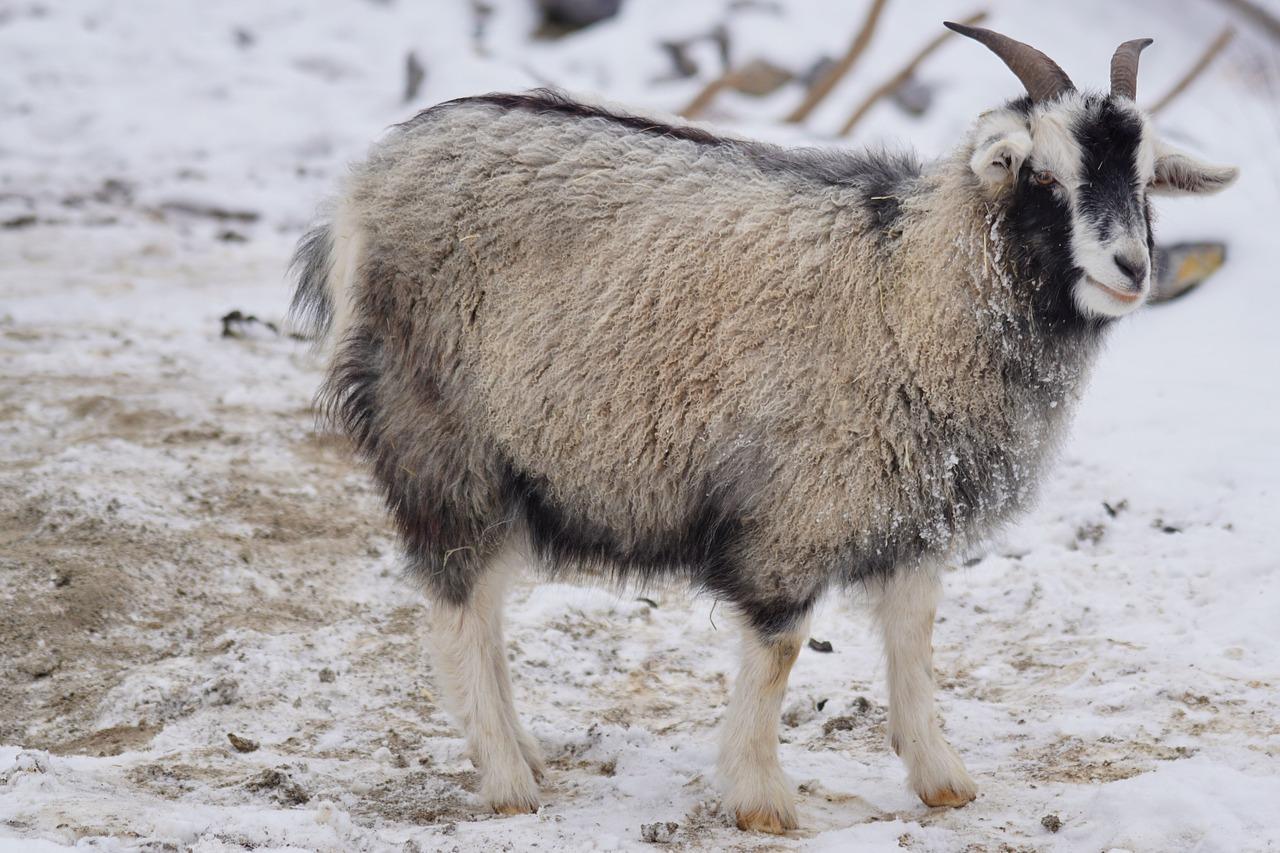 Cachemire goat 1160961 1280