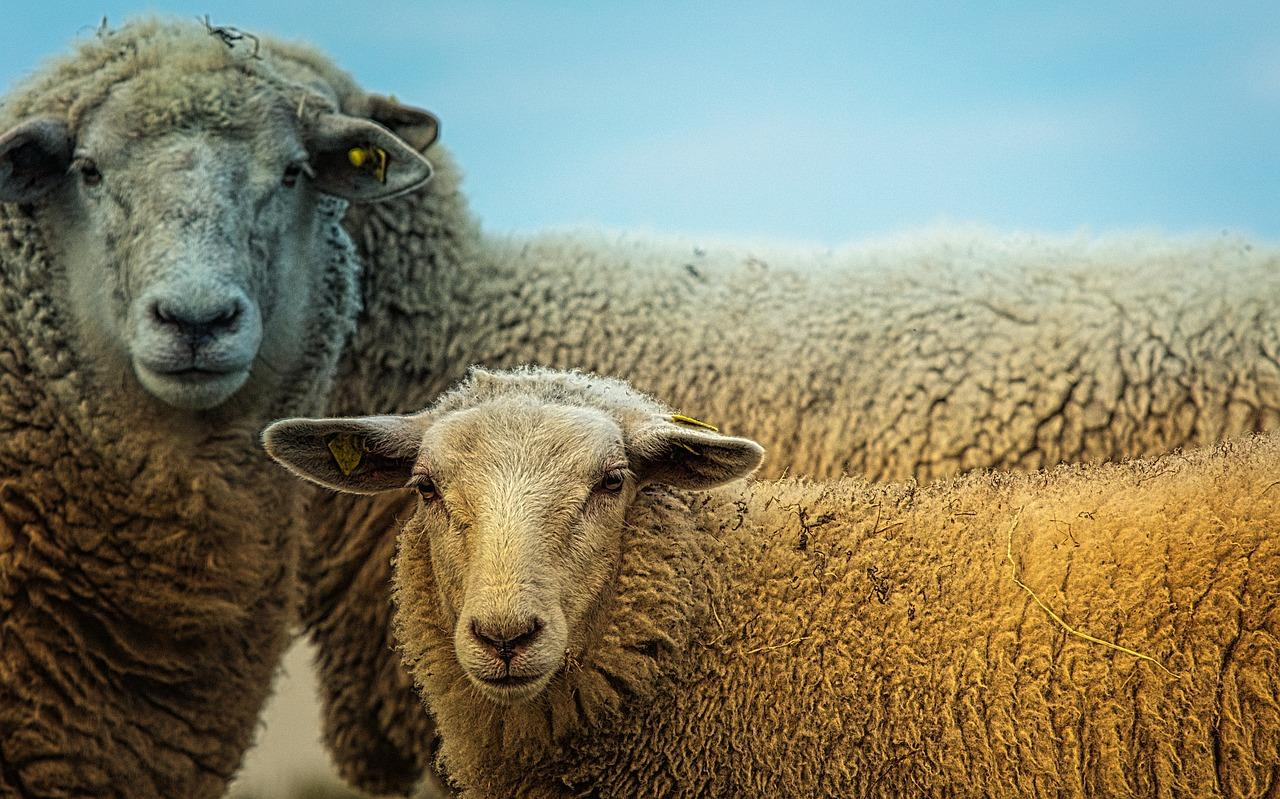 Mouton sheep 3727049 1280